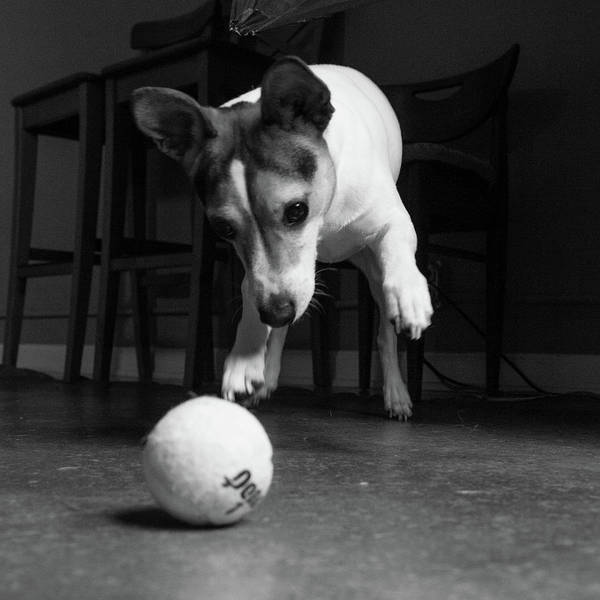 Fetch Photograph - Portrait Of A Jack Russell Terrier Dog by Animal Images