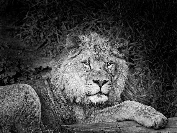 Wall Art - Photograph - Portrait Of A Lion Panthera Leo by Animal Images