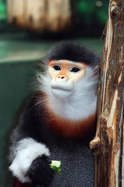 Photograph - Portrait Of A Monkey by Trina  Ansel