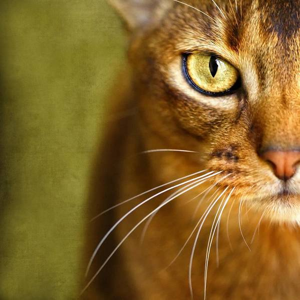 Orange Cat Photograph - Portrait Of An Abyssinian Cat With Textures by Wolf Shadow Photography
