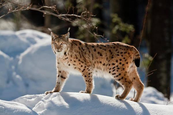 Sneak Photograph - Portrait Of Eurasian Lynx (lynx Lynx by Martin Zwick