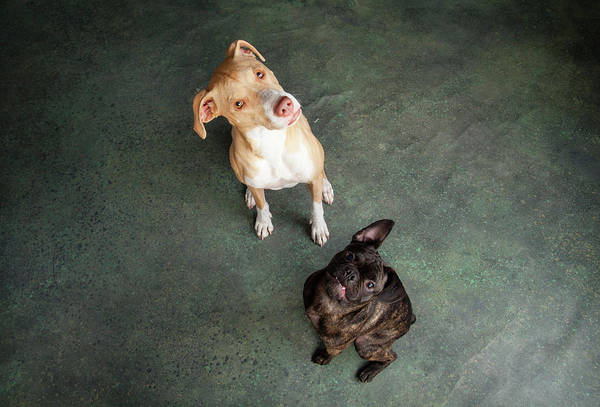Wall Art - Photograph - Portrait Of Lab Hound Mix Dog And Pug by Animal Images