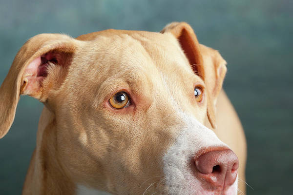 Wall Art - Photograph - Portrait Of Lab Hound Mix Dog by Animal Images