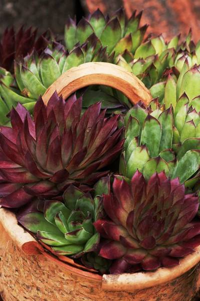Clay Pot Photograph - Pot Of Succulents by Brian Gadsby/science Photo Library