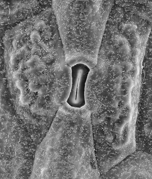 Cactaceae Photograph - Prickly Pear Cactus (opuntia Spp.) Stoma by Dennis Kunkel Microscopy/science Photo Library