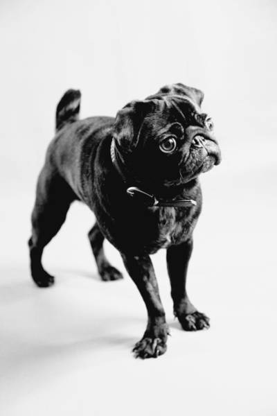 Hund Wall Art - Photograph - Pug by Falko Follert