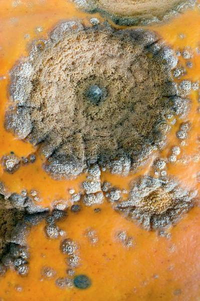 Rot Photograph - Pumpkin Black Rot by Dr Jeremy Burgess