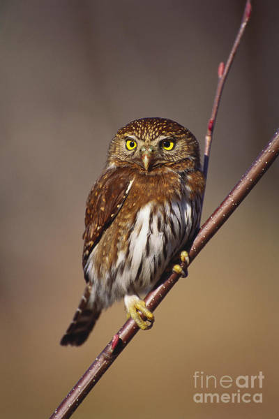 Photograph - Pygmy Owl by Art Wolfe