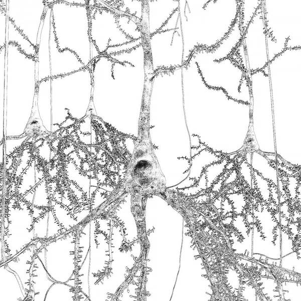 Brain Cell Wall Art - Photograph - Pyramidal Nerve Cells by Russell Kightley