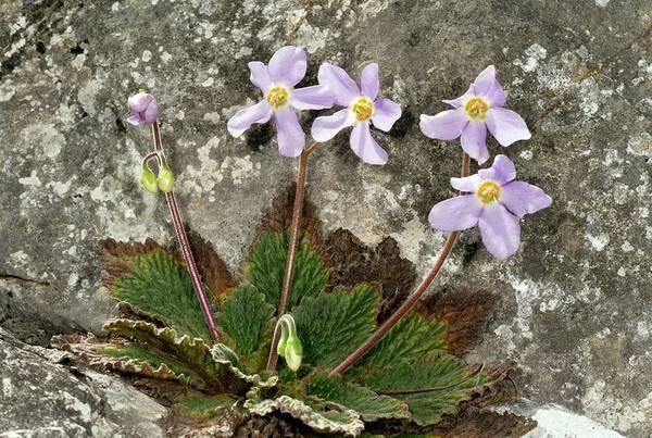 Pyrenees Photograph - Pyrenean Violet (ramonda Myconi) by Bob Gibbons