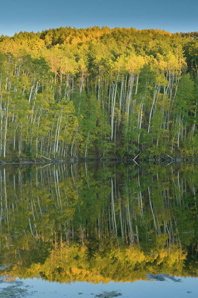 Fish Pond Photograph - Quaking Aspen (populus Tremuloides by Howie Garber