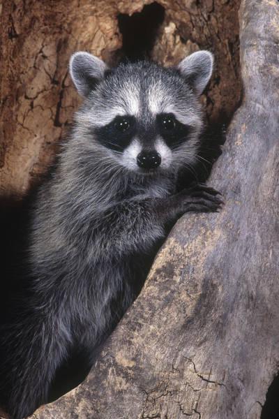 Wall Art - Photograph - Raccoon by Craig K. Lorenz