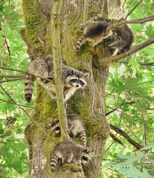 Raccoons Photograph - Raccoon Family by Jennie Marie Schell