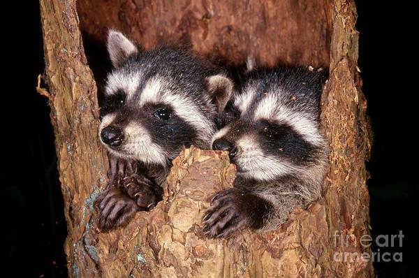 Raccoon Photograph - Raccoons by Art Wolfe