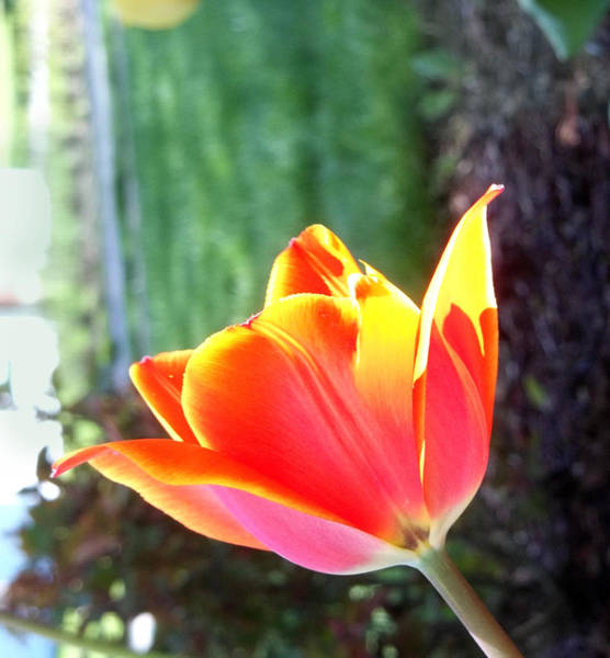 Photograph - Red And Yellow Tulip by Anne Cameron Cutri