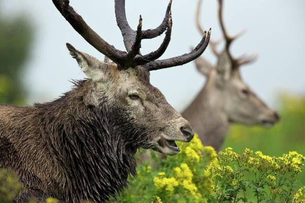 Cervus Elaphus Photograph - Red Deer Stag by Steve Allen/science Photo Library