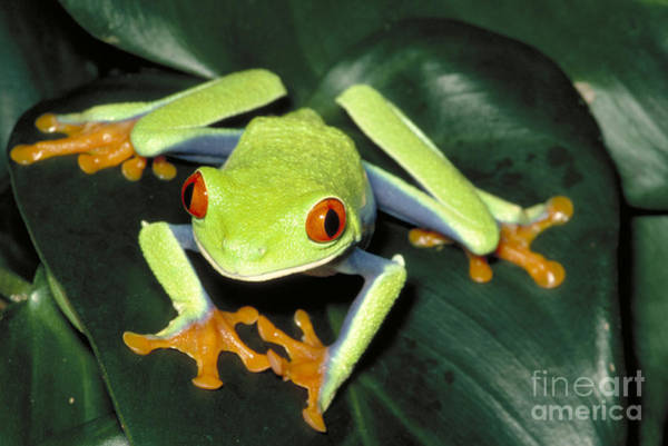 Photograph - Red Eyed Tree Frog by Gregory G. Dimijian