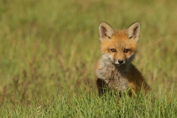 Ken Photograph - Red Fox Kit by Ken Archer