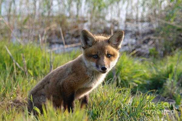 Kit Fox Photograph - Red Fox Kit by Olivier Le Queinec