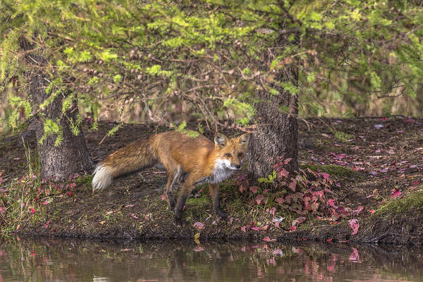 Wall Art - Photograph - Red Fox by Linda Arndt