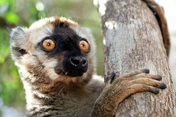 Lemur Wall Art - Photograph - Red-fronted Brown Lemur by Alex Hyde