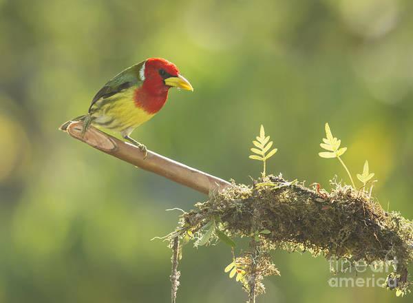 Photograph - Red-headed Barbet by Dan Suzio