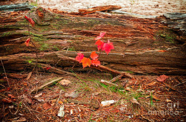Photograph - Red Maple Seedling by Les Palenik