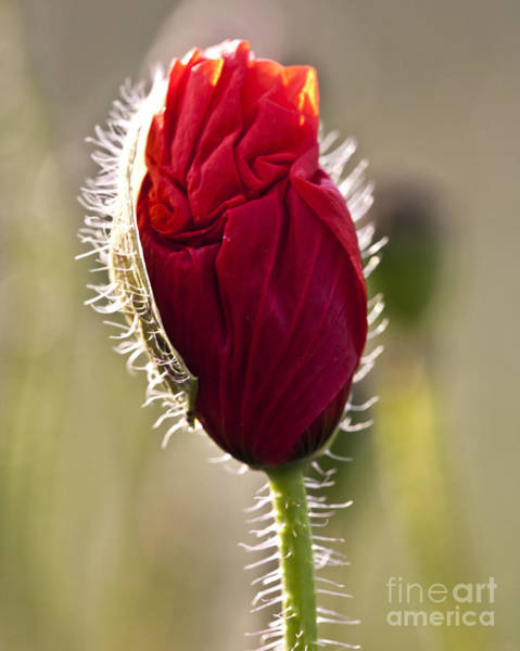 Photograph - Red Poppy Bud by Heiko Koehrer-Wagner