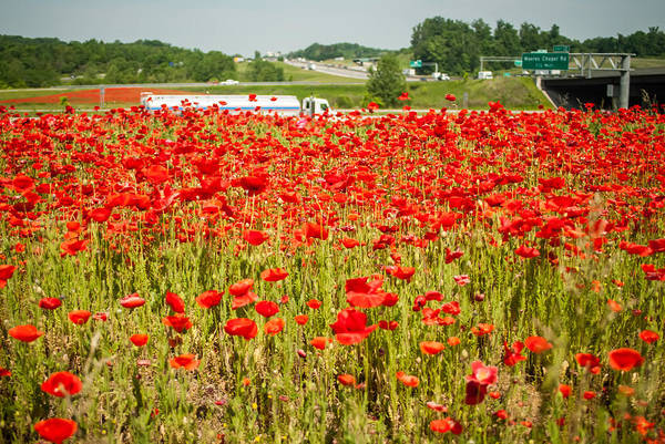 Photograph - Red Poppy Field Near Highway Road by Alex Grichenko