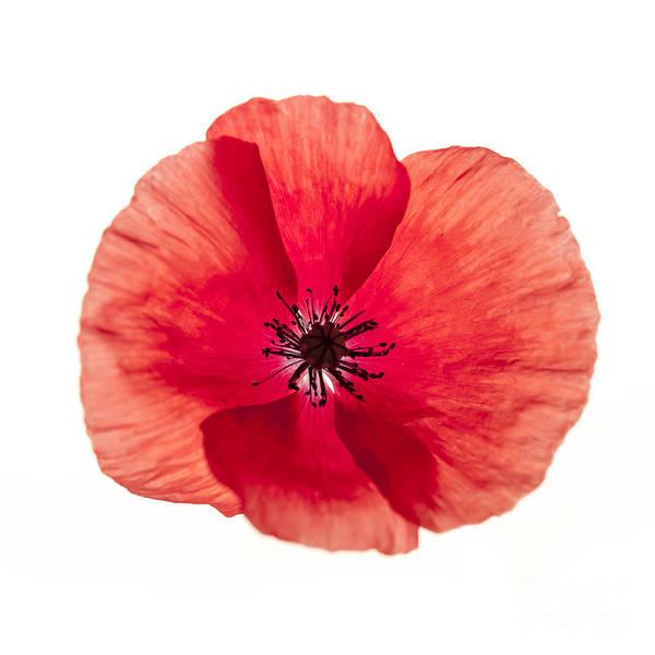 Photograph - Red Poppy Flower by Elena Elisseeva