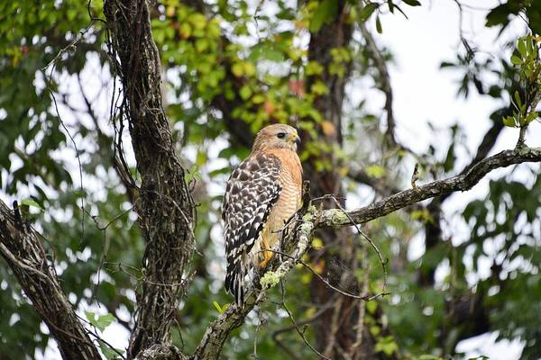 Photograph - Red Shouldered Hawk by Bill Hosford