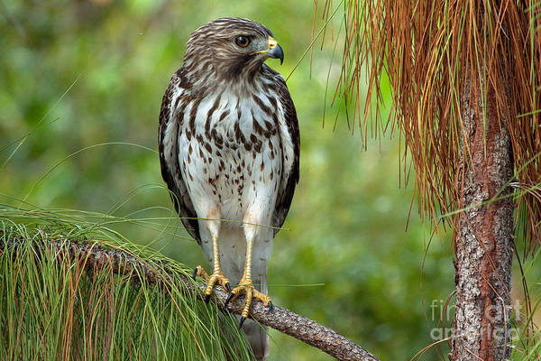 Photograph - Red Shouldered Hawk Photo by Meg Rousher
