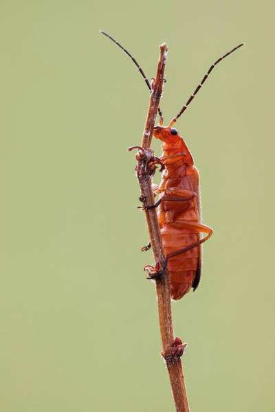 Arthropods Wall Art - Photograph - Red Soldier Beetle by Heath Mcdonald