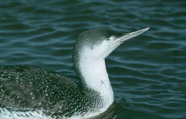 Loon Photograph - Red Throated Diver. by Science Photo Library