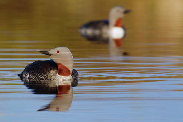 Tundra Wall Art - Photograph - Red-throated Loon Pair by Ken Archer