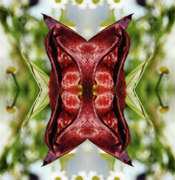 Photograph - Red Tulip by Silvia Otte