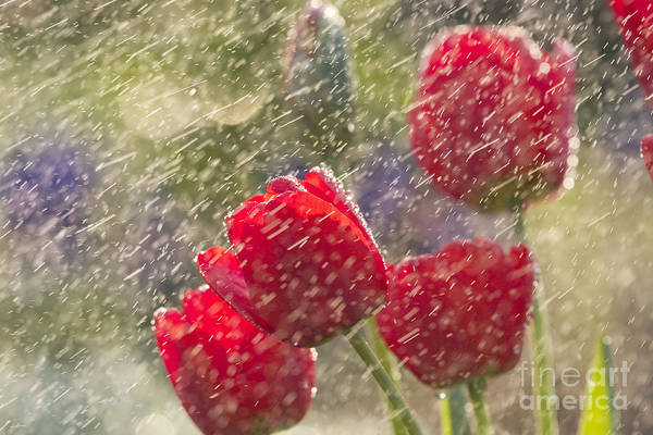 Odon Czintos - Red Tulips In The Rain