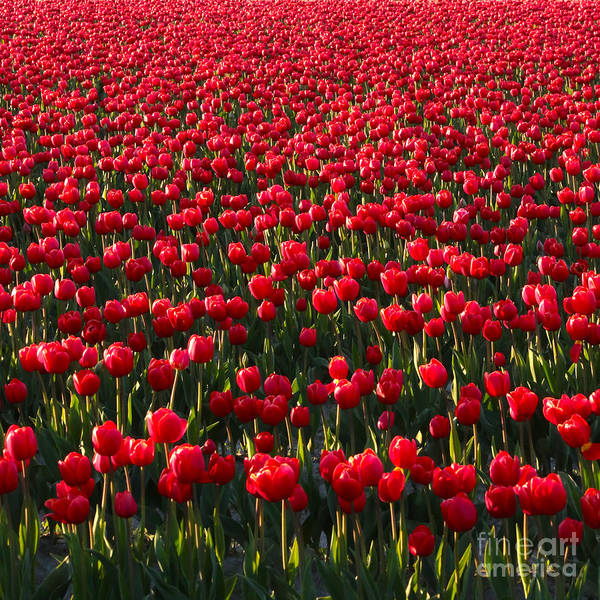 Photograph - Red Tulips Square by Carol Groenen