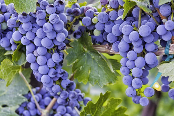 Photograph - Red Wine Grapes Hanging On The Vine by Teri Virbickis