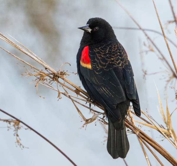 Red-winged Blackbird Wall Art - Photograph - Red-winged Blackbird by Angie Vogel