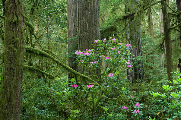 Redwood City Wall Art - Photograph - Redwood Trees And Rhododendron Flowers by Panoramic Images
