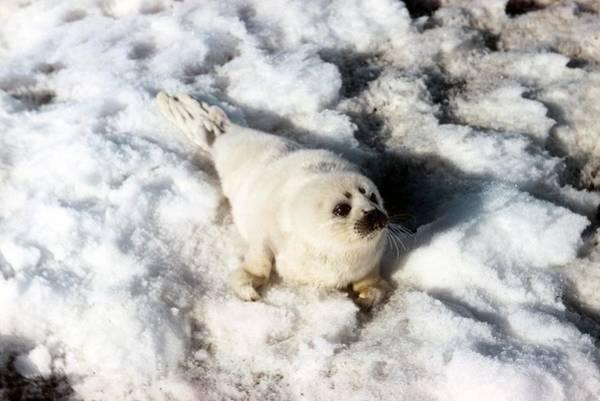 Wall Art - Photograph - Ribbon Seal Pup by Carleton Ray