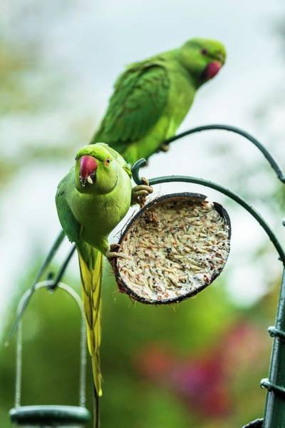 Parakeets Photograph - Ring-necked Parakeets On A Bird Feeder by Georgette Douwma/science Photo Library