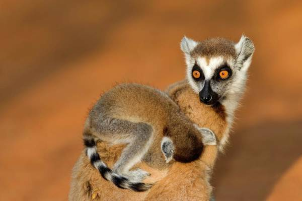 Lemur Photograph - Ring-tailed Lemur Mother And Baby by Tony Camacho/science Photo Library