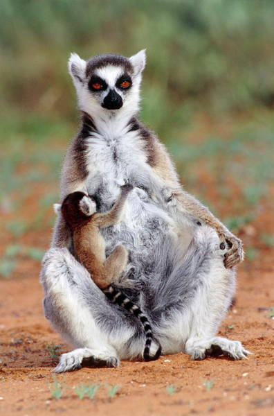 Ring-tailed Wall Art - Photograph - Ring-tailed Lemur With Baby by Tony Camacho/science Photo Library