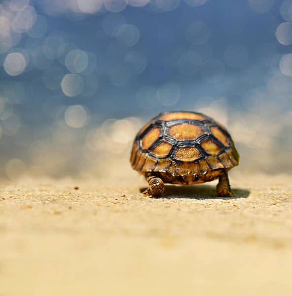 Turtle Photograph - Road Warrior by Laura Fasulo