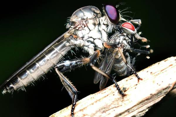 Wall Art - Photograph - Robber Fly Feeding On Its Prey by Sinclair Stammers/science Photo Library