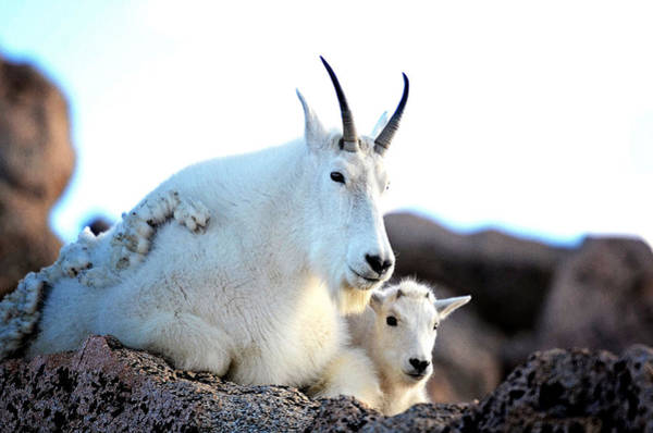 Photograph - Rocky Mountain Goats - Nanny And Kid by OLena Art Brand