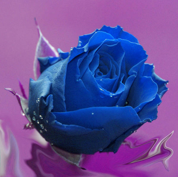 Purple Rose Digital Art - Rose by Carol Lynch