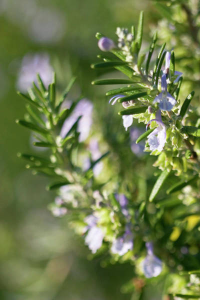 Herbs Photograph - Rosemary (rosmarinus Officinalis) by Emmeline Watkins/science Photo Library